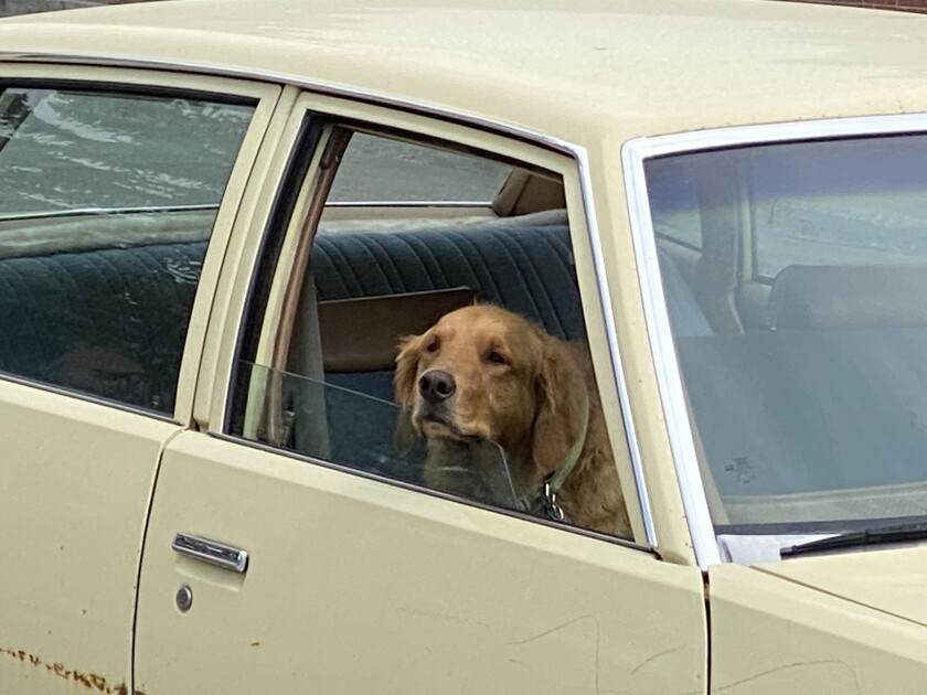 Lilly awaits her owner, Norman Winings, in a 1979 Pontiac Leman recently the Leadville, Colo., post office.
