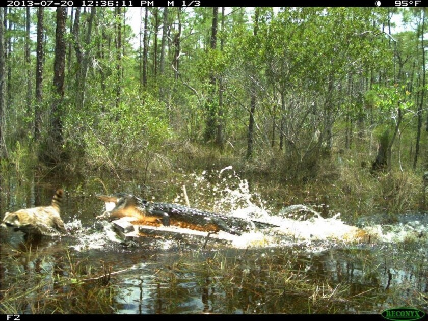 In the Everglades, birds use alligators to keep them safe from the nest-raiding predators like raccoons and opossums
