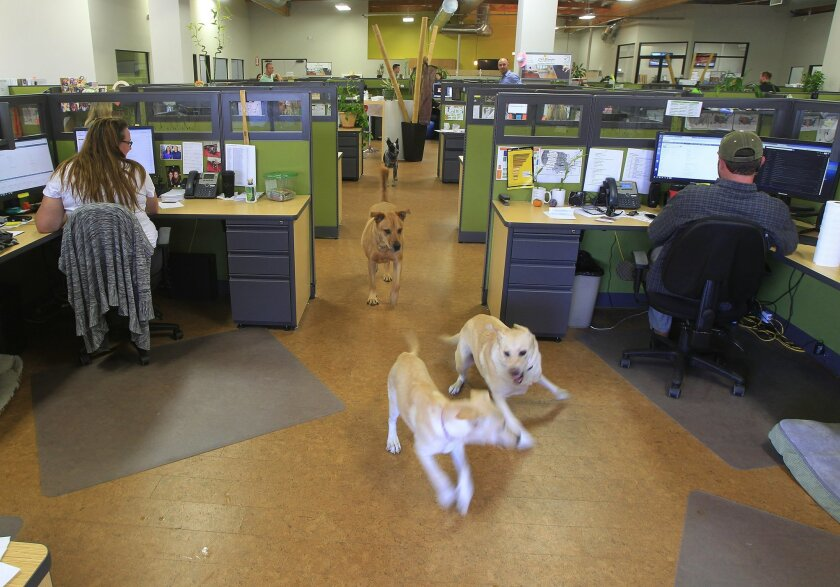 October 14th 2014, San Diego, CALIFORNIA, USA. -------- | Ginger (left) and Beasley play together out at the offices of Cali Bamboo on Tuesday in San Diego, California.   | ----------- MANDATORY CREDIT: PHOTO BY EDUARDO CONTRERAS, U-T SAN DIEGO/Copyright 2014 San Diego Union-Tribune LLC