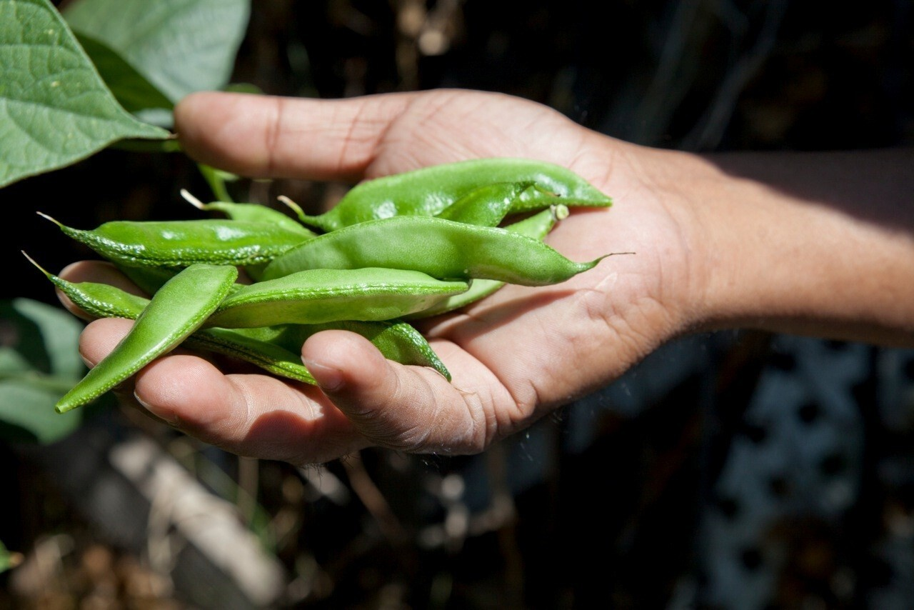 Hyacinth beans at an L.A. community garden look a bit like snap peas.