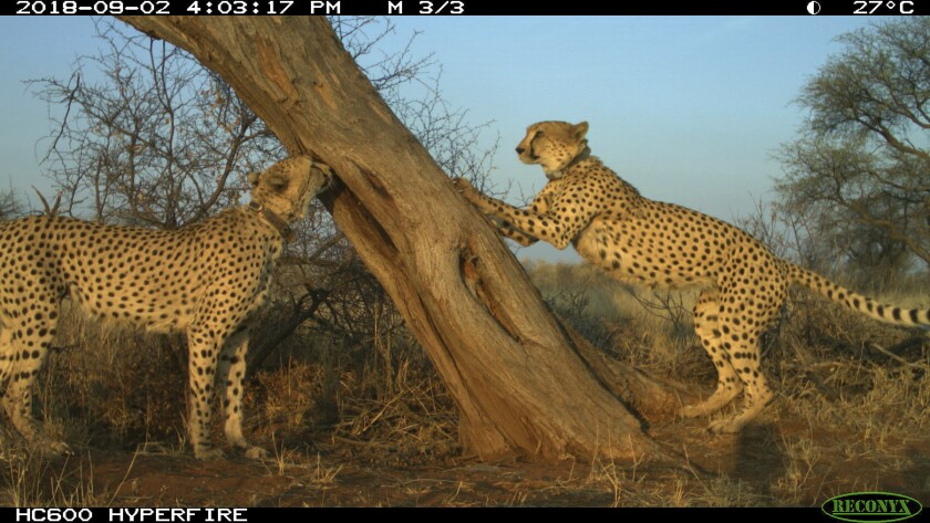Cheetahs gathered at a tree in central Namibia.