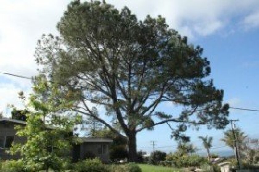 Solana Beach residents Gary and Patricia Coad discovered two holes in their Torrey Pine tree in March. The couple found two similar holes drilled into their tree last year. / Courtesy photos