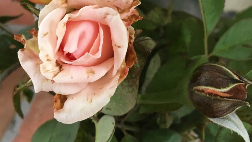 Brown petals and rose buds that are brown, in addition to new growth with distorted and bronzed leaves must be removed from the garden.