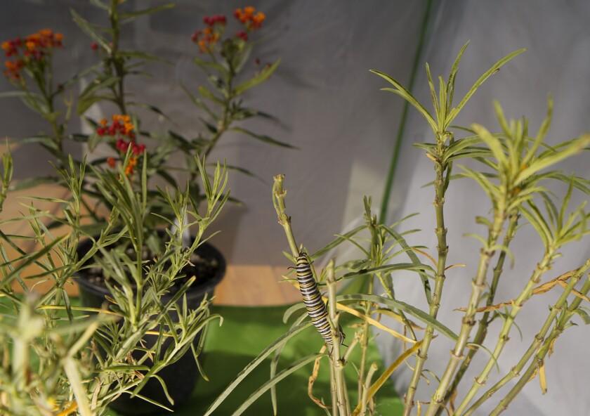 Una larva de mariposa monarca occidental con rayas distintivas mordisquea un algodoncillo en el jardín
