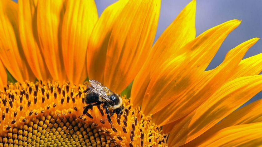 With tariffs on U.S. soybeans stopping a key source of edible meal, which is often used for animal feed, China will implement zero tariffs on imports of a variety of meals, including sunflowers.