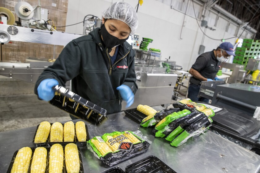 Workers package corns cobs in a processing facility