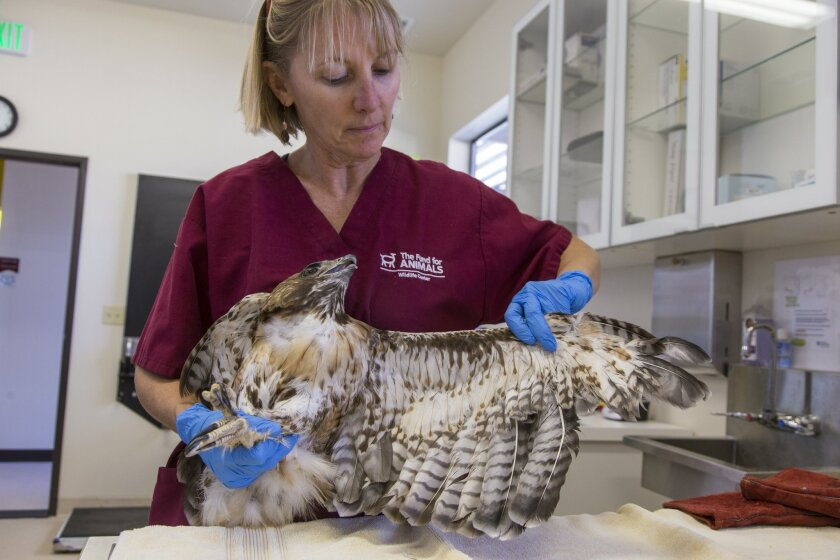 Fund for Animals veterinary technician Gina Taylor shows where damaged feathers were removed from the wing of a red-tailed hawk injured at a Chula Vista trolley station. KPBS aired the first installment of the hawk's story in 'Animal R&R,' which will be continued in another installment.