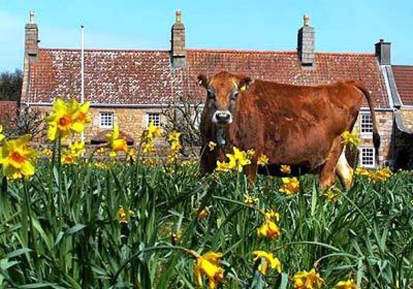 Jersey cows are noted for their rich milk and gentle dispositions.