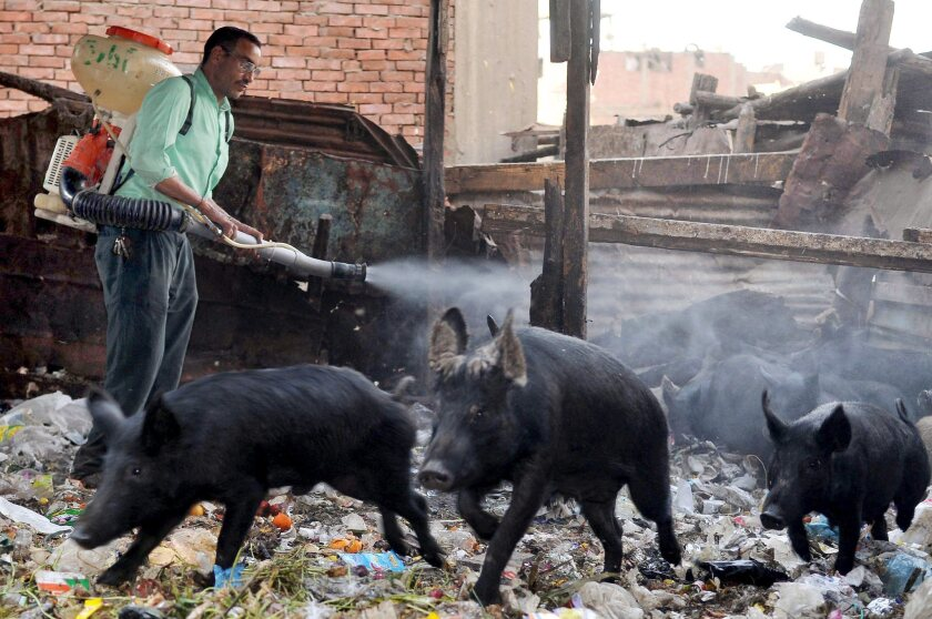 An Egyptian health worker sprays pigs with disinfectant in a Cairo slum in 2009 as a precaution against H1N1, or swine flu.