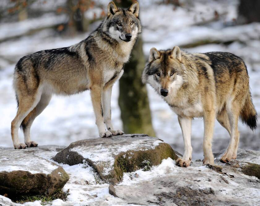 Carbs were key in wolves' evolution into dogs