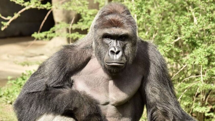 Harambe the gorilla was killed at the Cincinnati Zoo after a child fell into the exhibit
