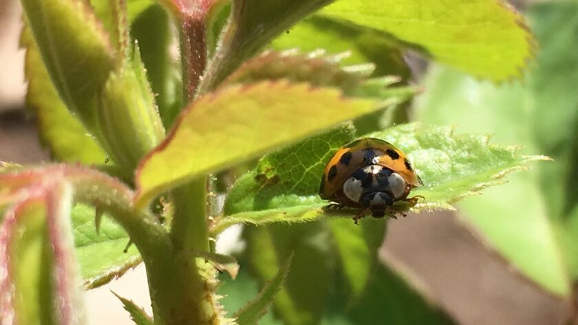 Lady bugs and their larvae feed on many destructive insect pests and are plentiful in the sustainable rose garden.