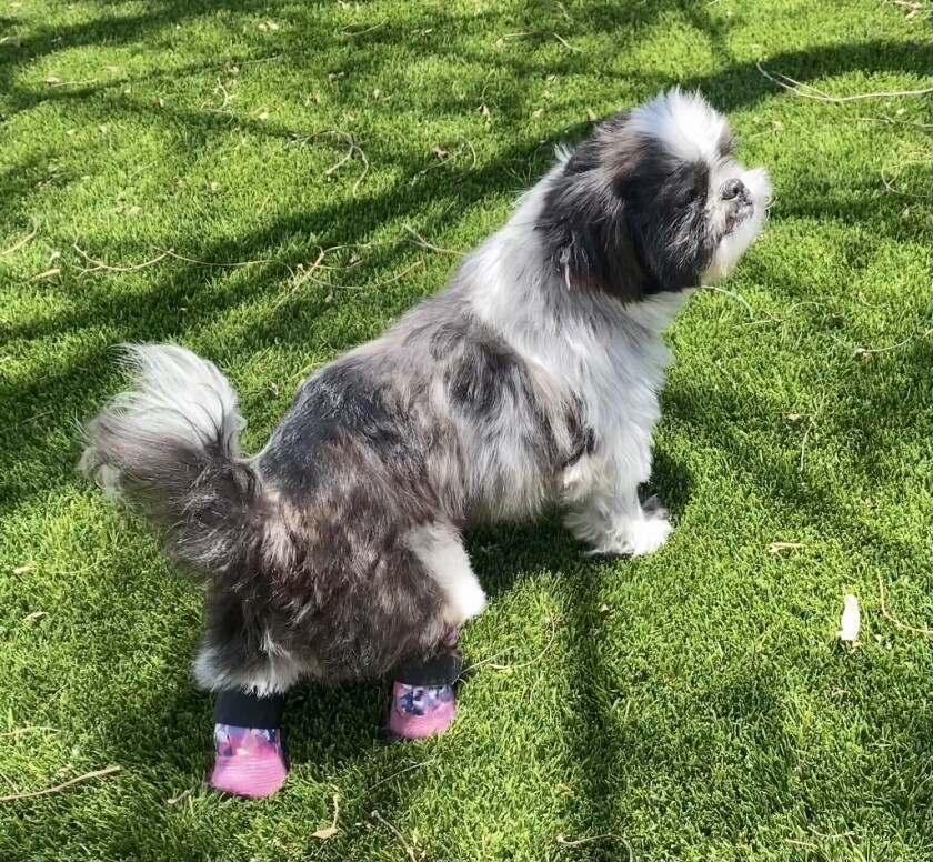 Chloe, a 9-year-old Shih Tzu, in pink prosthetics fitted to her back feet