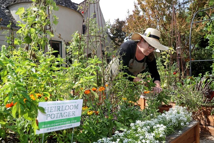 Culinary gardener Ashley Irene goes to work in her home garden Heirloom Potager on Wednesday in Santa Ana.