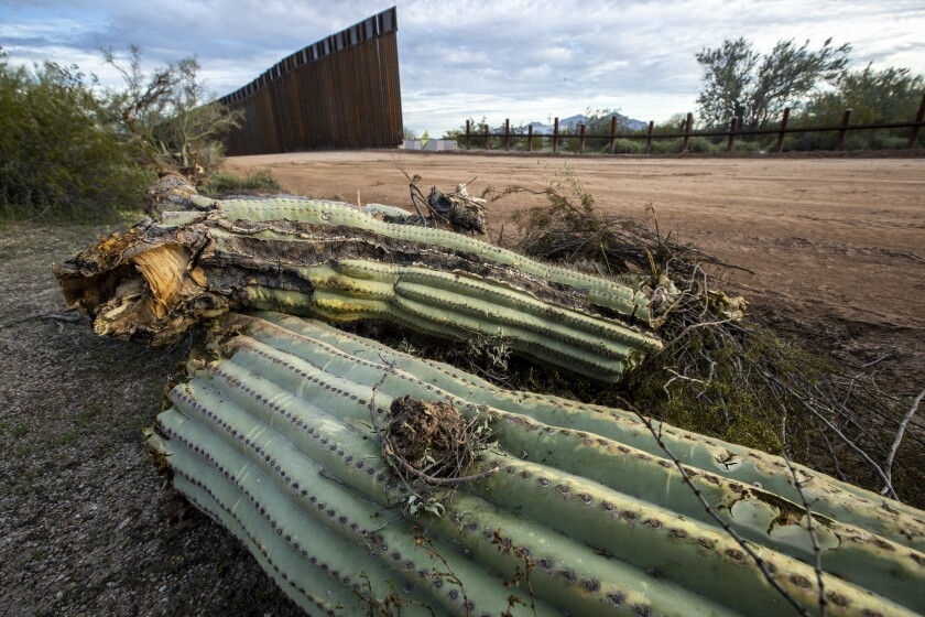 Dead saguaro cactus