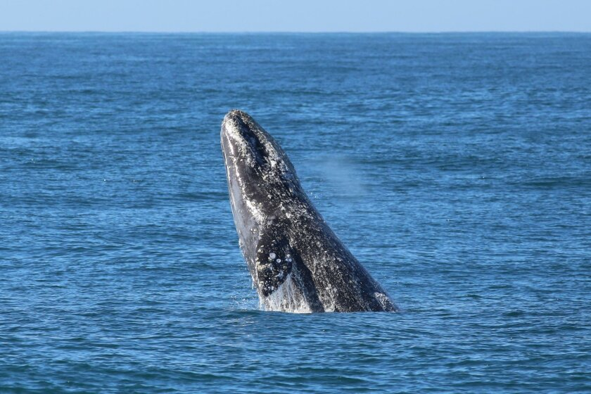 A gray whale breaches just offshore.