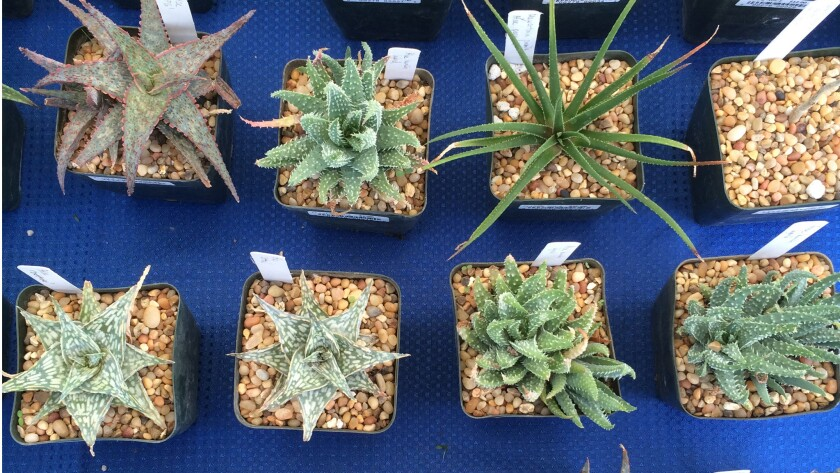 Succulents for sale at The Huntington Library in San Marino.