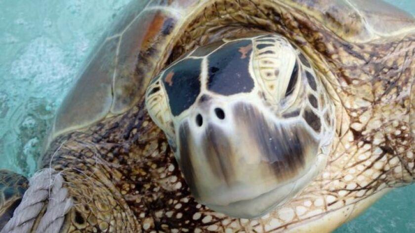 A diferencia de los humanos y la mayoría de los mamíferos, en los que el sexo de la descendencia está determinado por los cromosomas, las tortugas verdes marinas dan a luz machos o hembras en función de la temperatura del nido durante el período de incubación de los huevos.