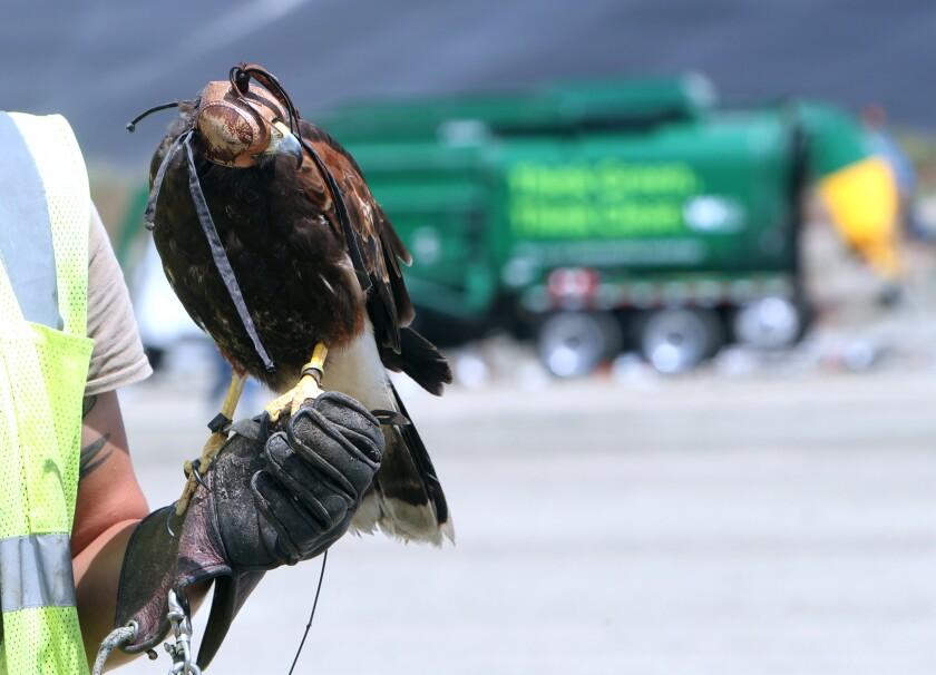 Bollo the hawk