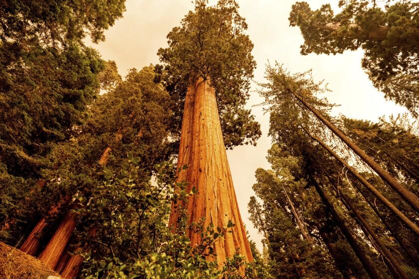En la imagen, vista de un bosque de secuoyas en Lost Grove