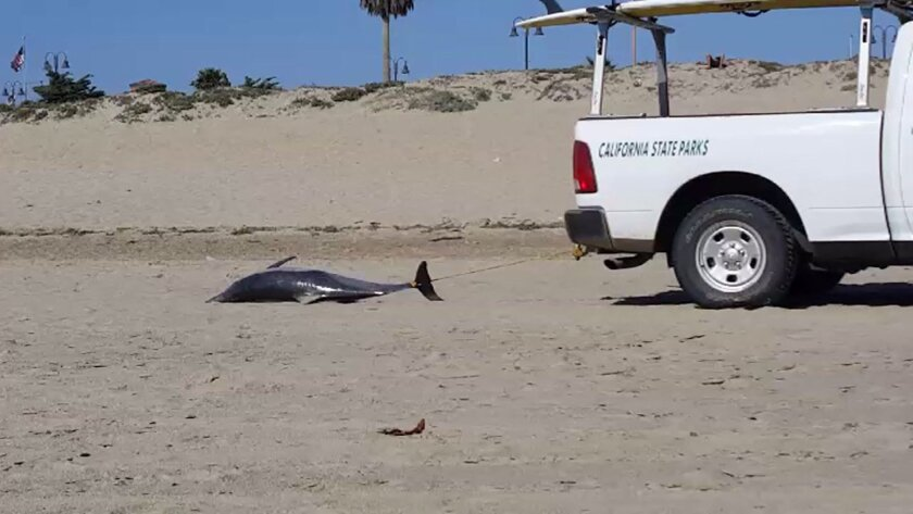 A dead dolphin is towed across a beach in Ventura on Sunday.
