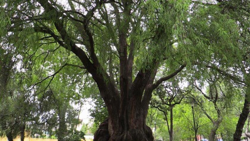 Fotografía de un árbol Ahuehuete, el 21 de junio de 2018, en la zona de Coyoacán, en Ciudad de México (México). EFE