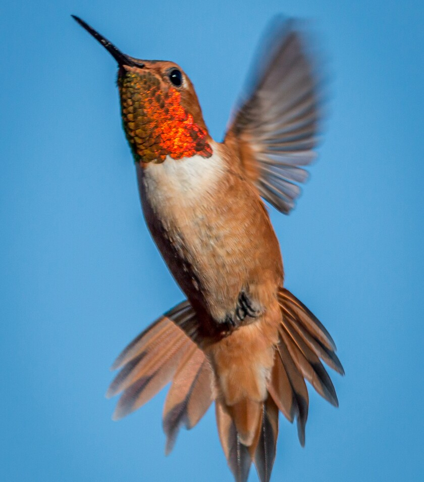 The rufous hummingbird has a notch in the second (from center) tail feather.