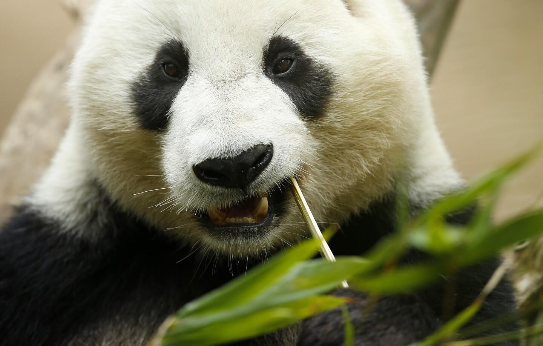 San Diego Zoo Pandas