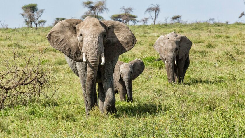 This 2015 file photo shows elephants on the Serengeti, in Tanzania.