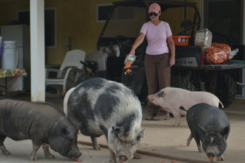"""Nancy Koontz invites a group of pigs to participate in the """"carrot toss"""" during snack time."""