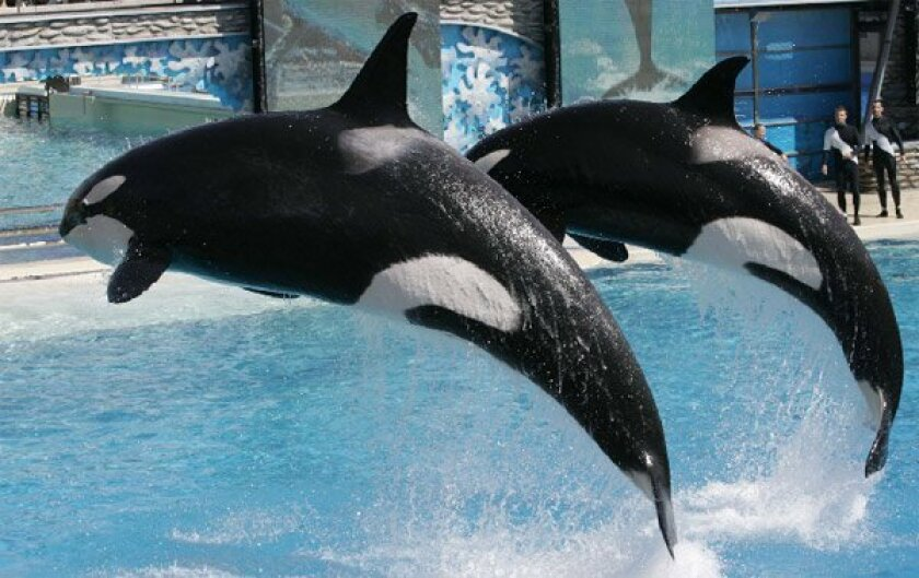 Killer whales leapt from the water during an afternoon show yesterday at SeaWorld.  (John Gibbins / Union-Tribune)