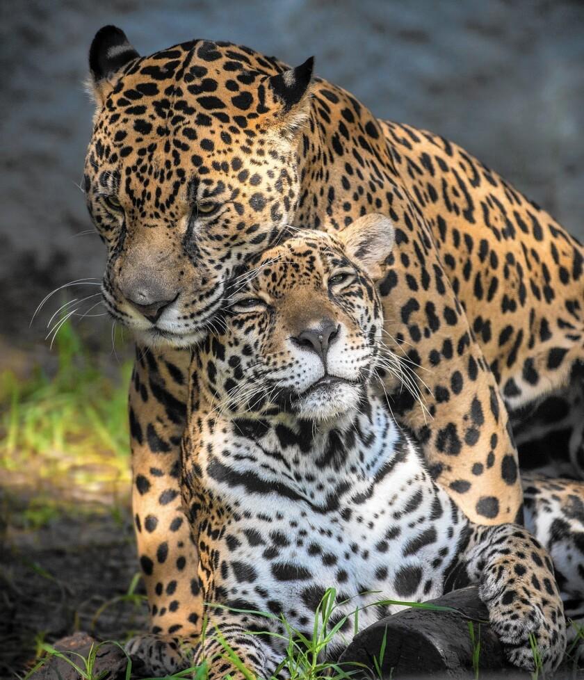 Los Angeles Zoo jaguars cuddle