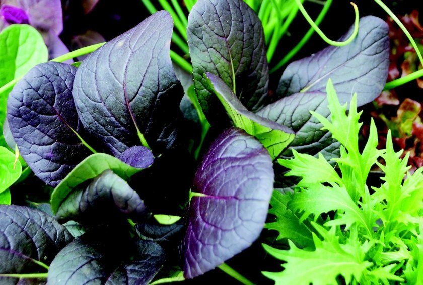 Lettuce varieties and other leafy greens grow best in the cool season.