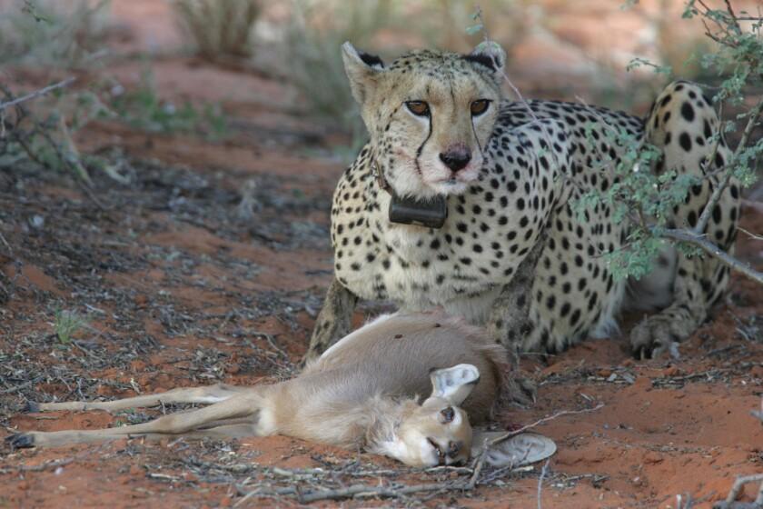 Cheetahs, pumas and energy costs
