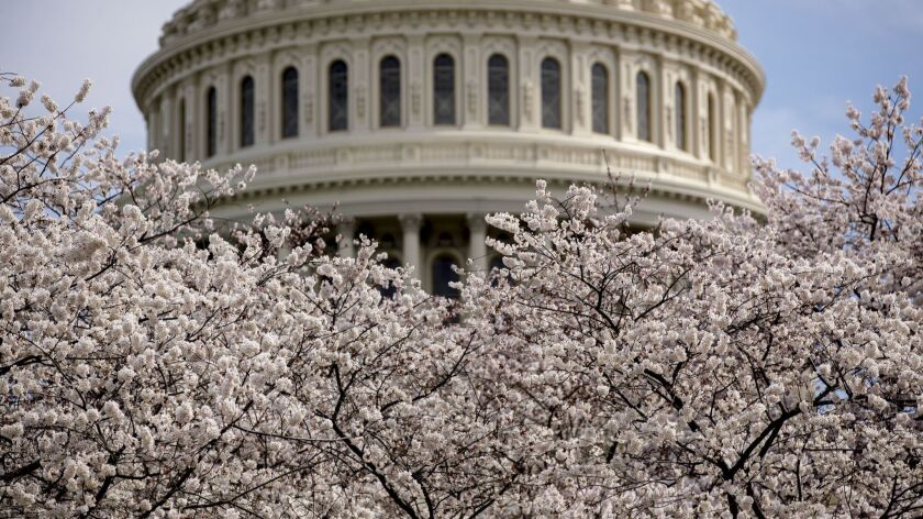 The Dome of the U.S. Capitol Building is visible as cherry blossom trees bloom on the West Lawn, Sat
