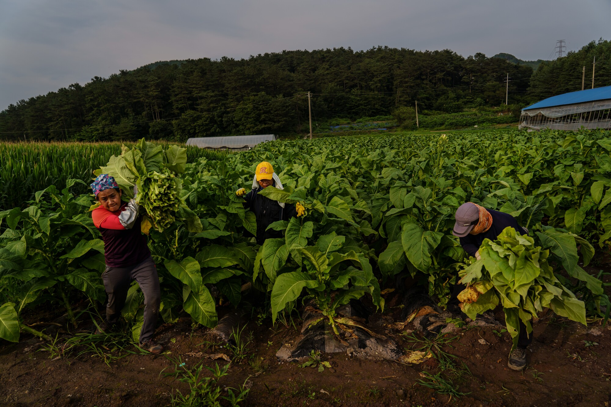 Thai migrant workers work in Park Jong-bum's tobacco fields in Bokheung-Myeon, in the southwest of South Korea, in July.