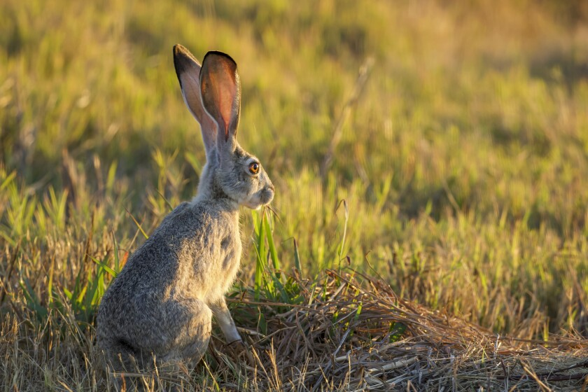 A jackrabbit stops to take in the setting sun at the Sacramento Wildlife Refuge.