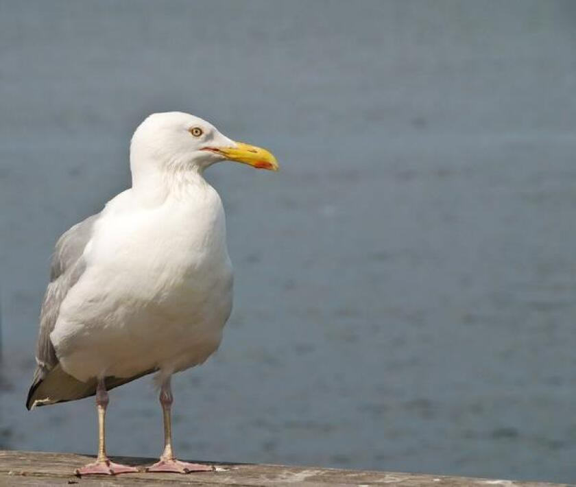 Gulls are protected by the Migratory Bird Treaty Act.