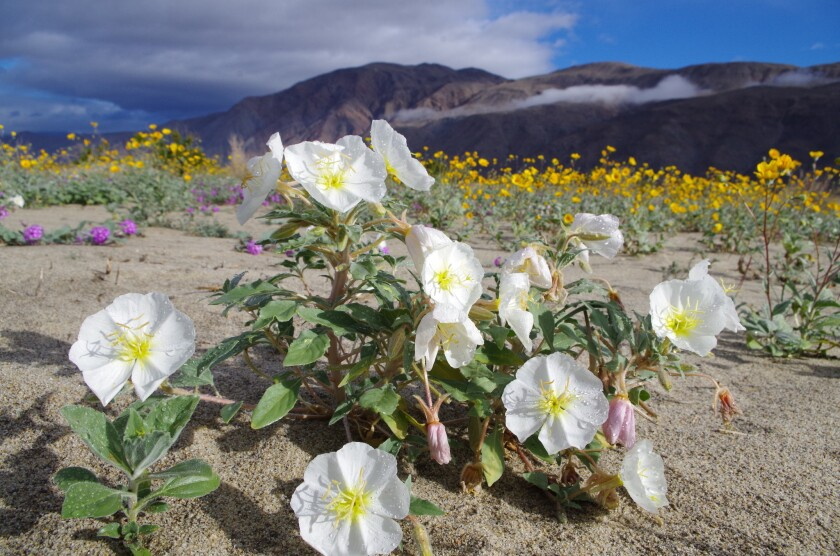 In a previous bloom year, desert primrose bloom along Hendy Canyon Road.