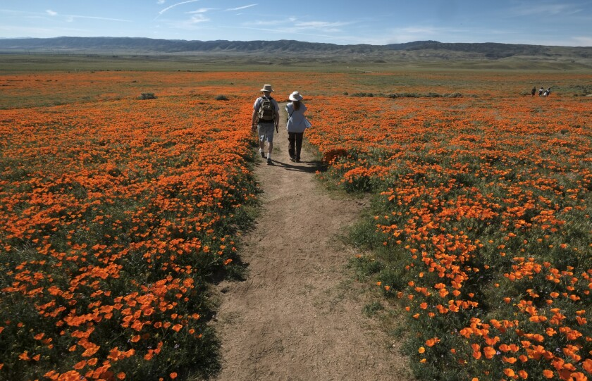 Visitors walk among the poppy bloom at Antelope Valley California Poppy Reserve in Lancaster, Calif., on March 19, 2017.