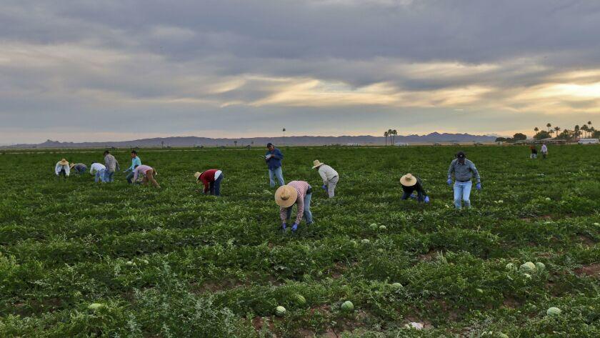 YUMA, CA - MAY 27, 2015: Farm workers pick watermelon on a farm along Highway 95 in Yuma. ( Irfan K