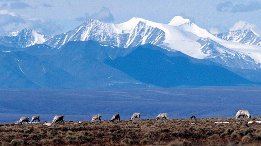 Caribou graze in the Arctic National Wildlife Refuge in Alaska. (Associated Press)