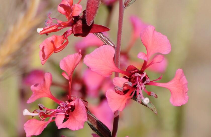 elegant clarkia, Clarkia unguiculata, flowers