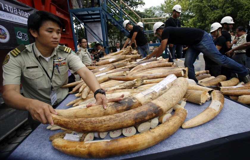 Thai officials arrange seized elephant tusks to be displayed before destruction in Bangkok, Thailand, in August.