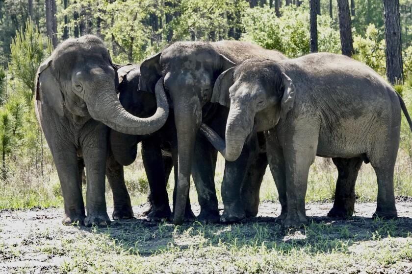 En esta imagen de abril de 2021 difundida por White Oak conservation se ven elefantes que solían pertenecer a un circo en su nuevo santuario de vida silvestre en Yulee, Florida, al norte de Jacksonville. (Stephanie Rutan/White Oak Conservation via AP)