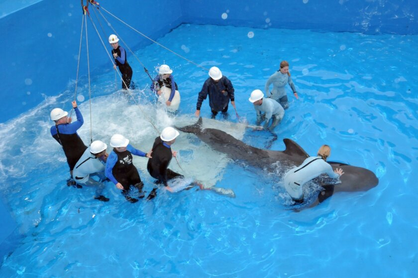 Argo, a 10-year-old male pilot whale, arrives at SeaWorld San Diego.
