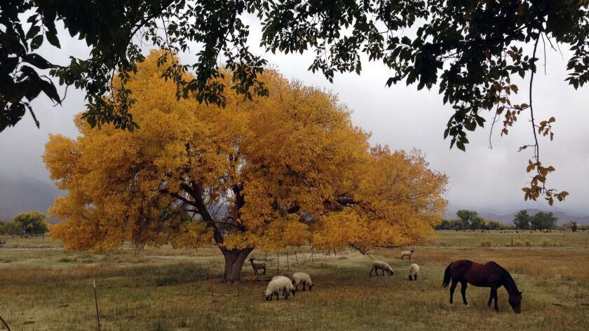 BISHOP, CA OCTOBER 9, 2013 - Fall colors are abundant as sheep and horses graze in Bishop CA on Wed
