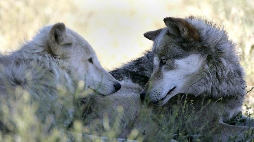 The California Wolf Center is home to several packs of gray wolves, some of which are exhibited for educational purposes. On a recent morning, both Mexican Gray wolves and Alaskan Gray Wolves were out in their enclosures.