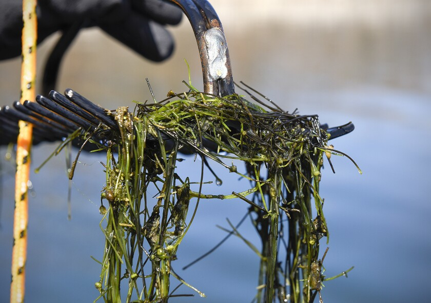 In this April 4, 2016 photo, Chris Jurek, DNR aquatic invasive species specialist, uses a double sided rake on a rope to collect samples of starry stonewort in Lake Koronis near Paynesville, Minn.