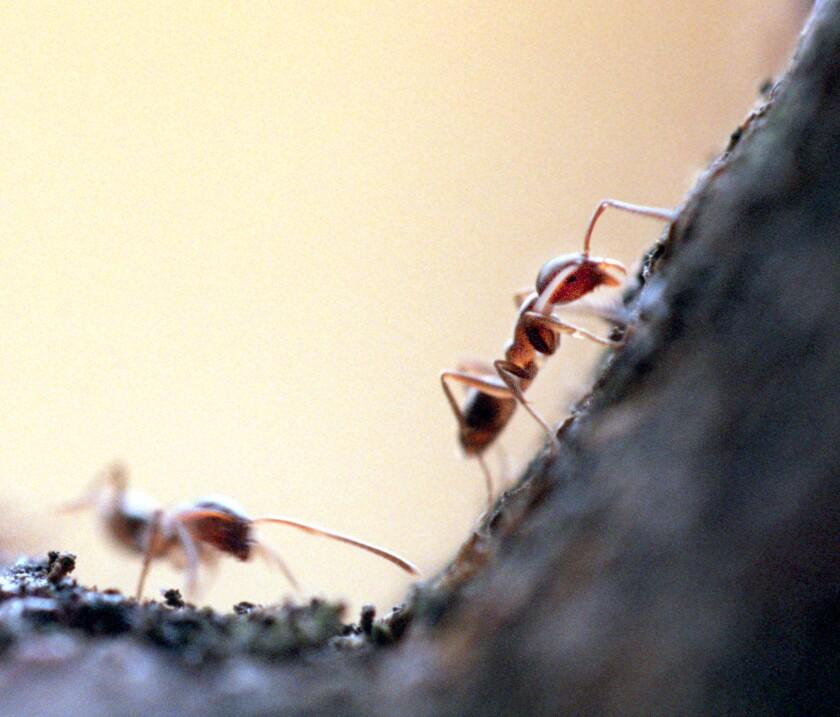 Ants' sense of smell